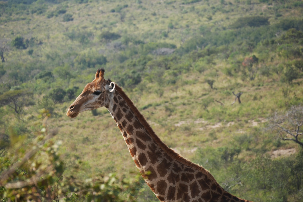 Giraffe auf Safari im Hluhluwe Umfolozi National Park