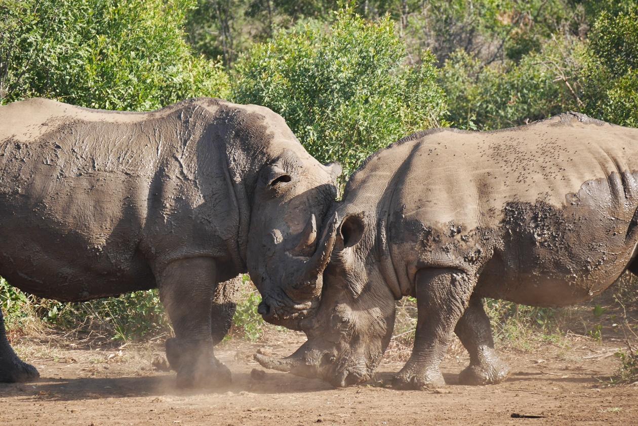 Kämpfende Nashörner auf Safari im Hluhluwe Umfolozi National Park