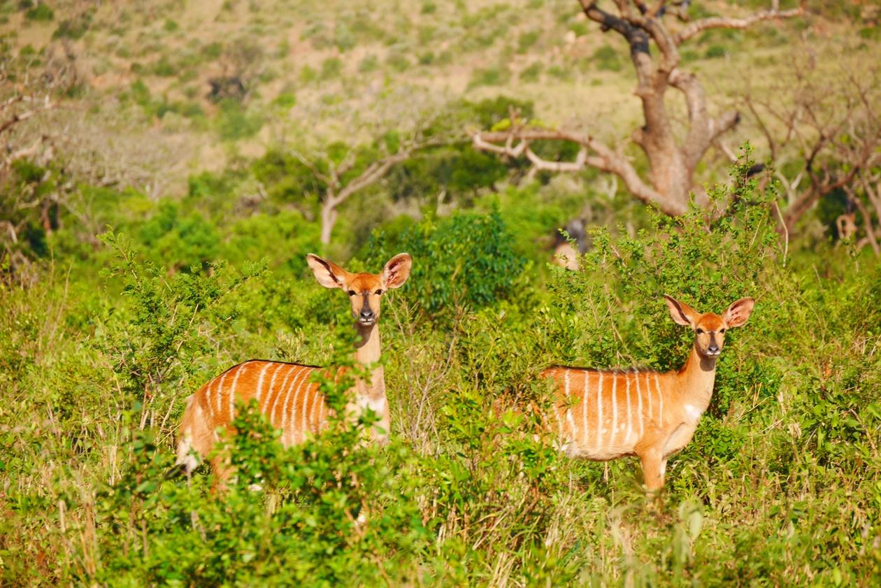 Nyalas auf Safari im Hluhluwe Umfolozi National Park