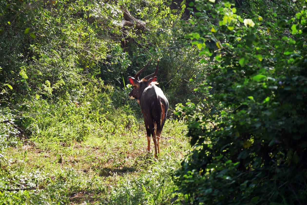 Nyala Bock in einem Flussufer auf Safar im Hluhluwe Umfolozi Nationalpark