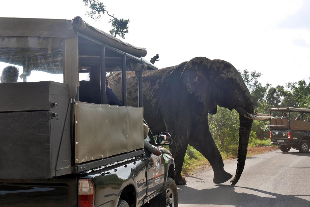 Elefant bei einer Safari in Südafrika