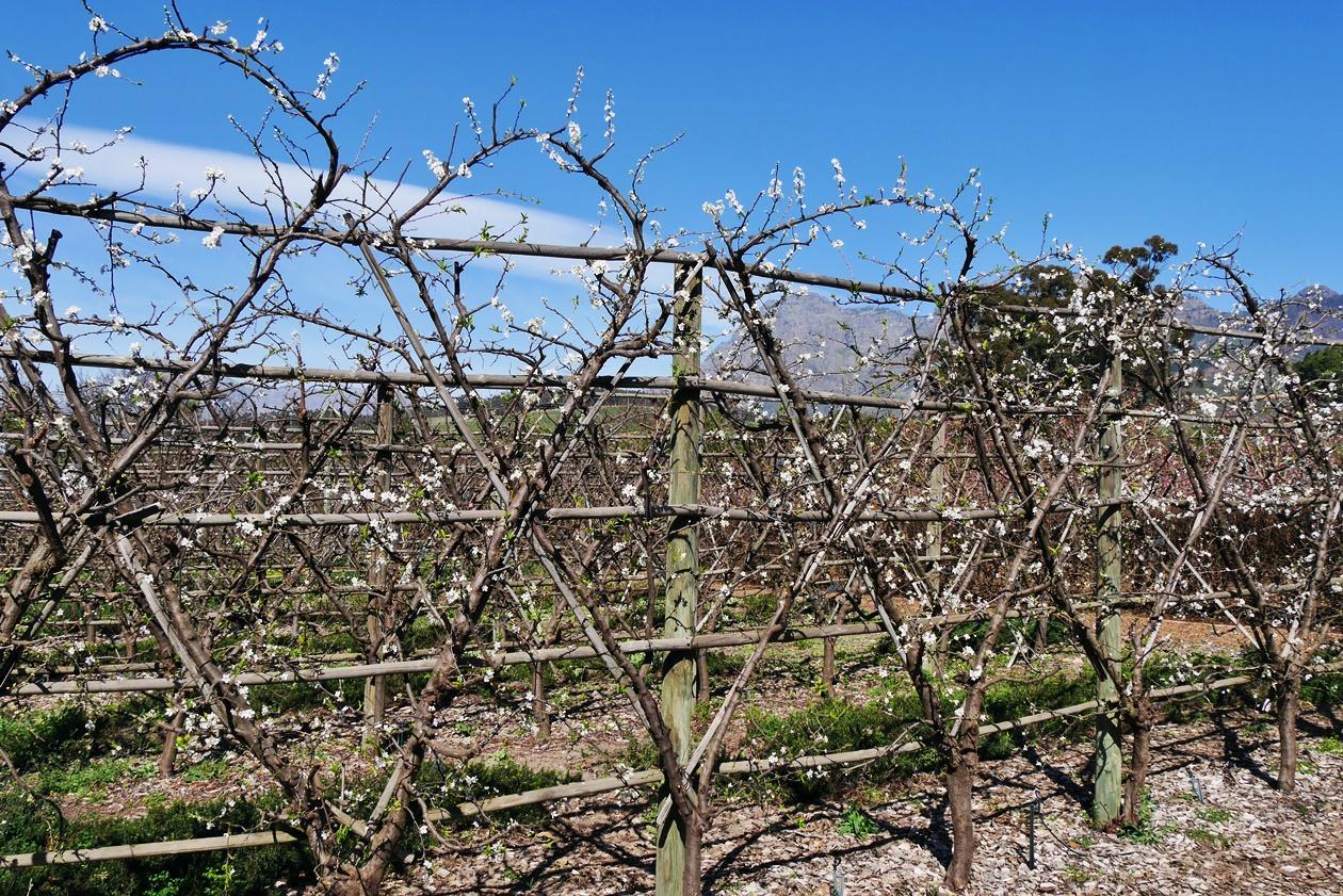 Apfelbäume in Babylonstoren auf unserem Wochenendausflug von Kapstadt