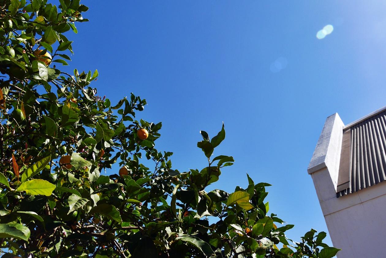 Zitronenbaum in Babylonstoren auf unserem Wochenendausflug von Kapstadt