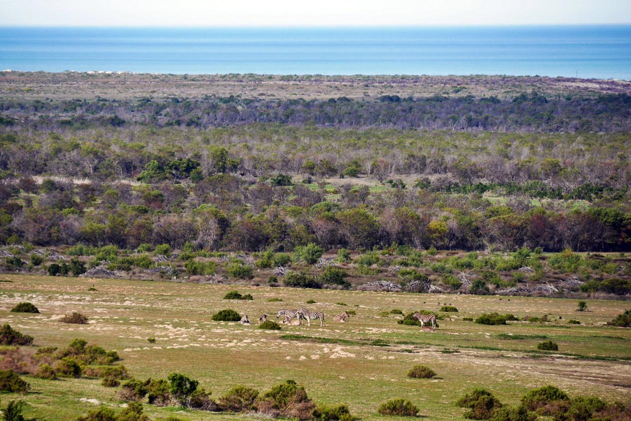 Zebras auf dem Gelände von !Khwa ttu auf unserem Wochenendausflug von Kapstadt