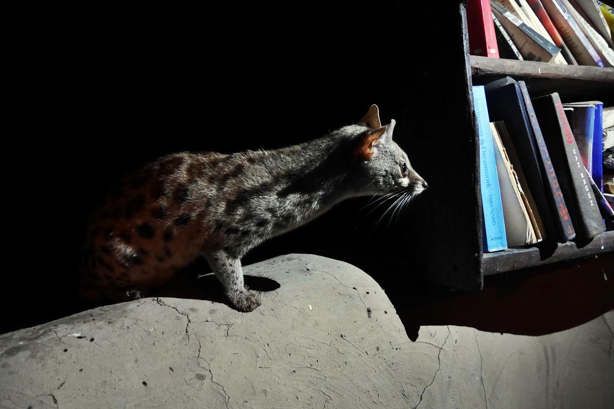 Ginsterkatze auf Bovu Island