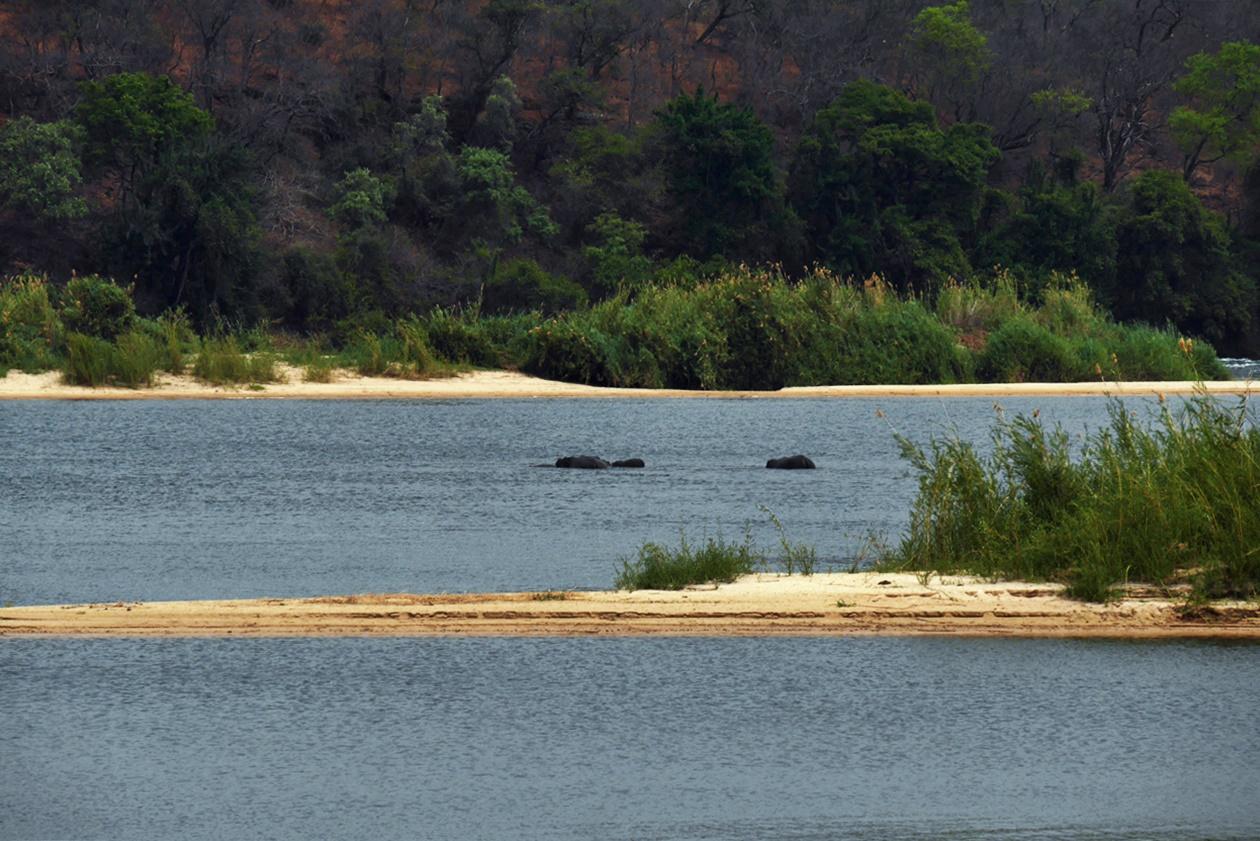 Hippos im Sambesi vor Bovu Island
