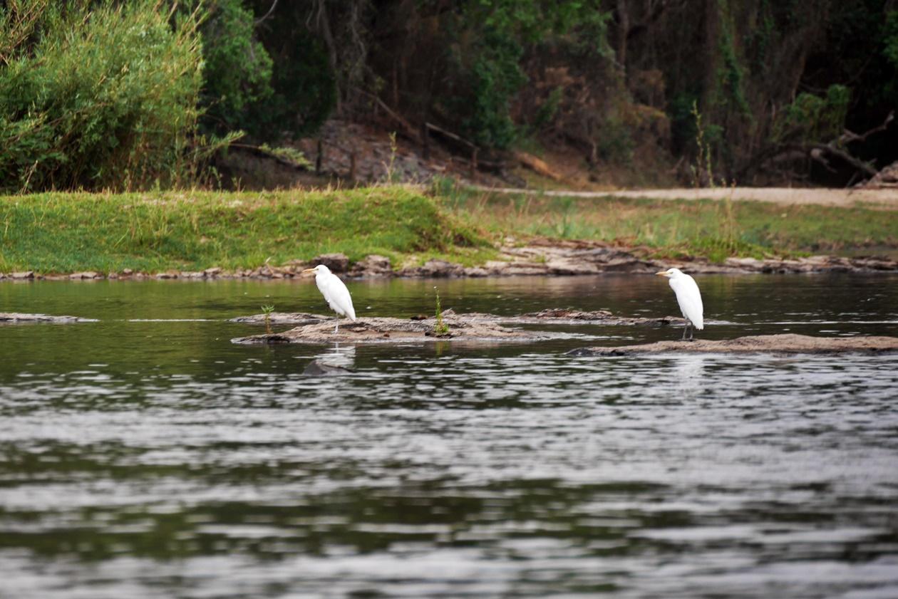 Vögel auf dem Sambesi vor Bovu Island