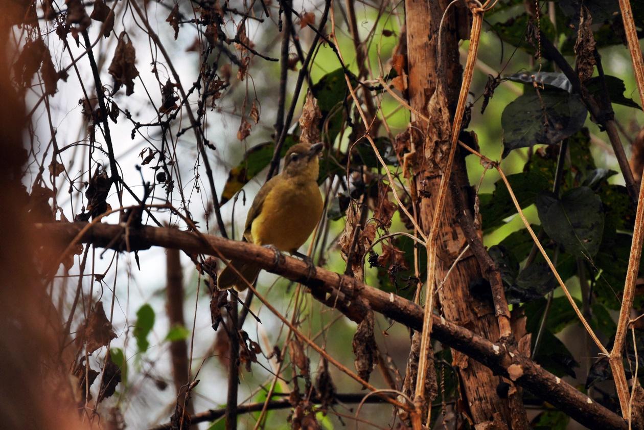 Kleiner gelber Vogel auf Bovu Island