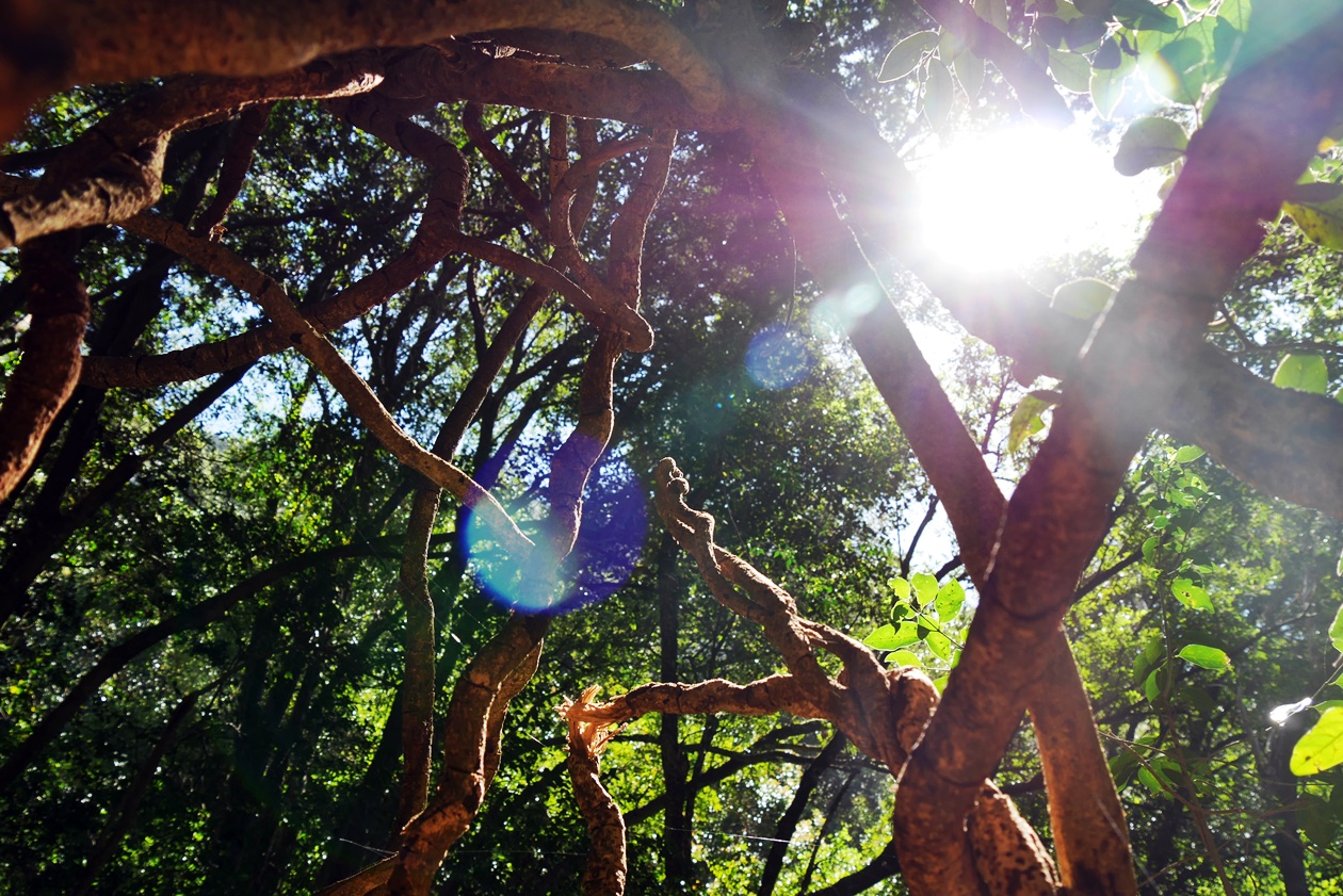 Bäumwurzel auf dem Skeleton Gorge Trail auf den Tafelberg in Kapstadt