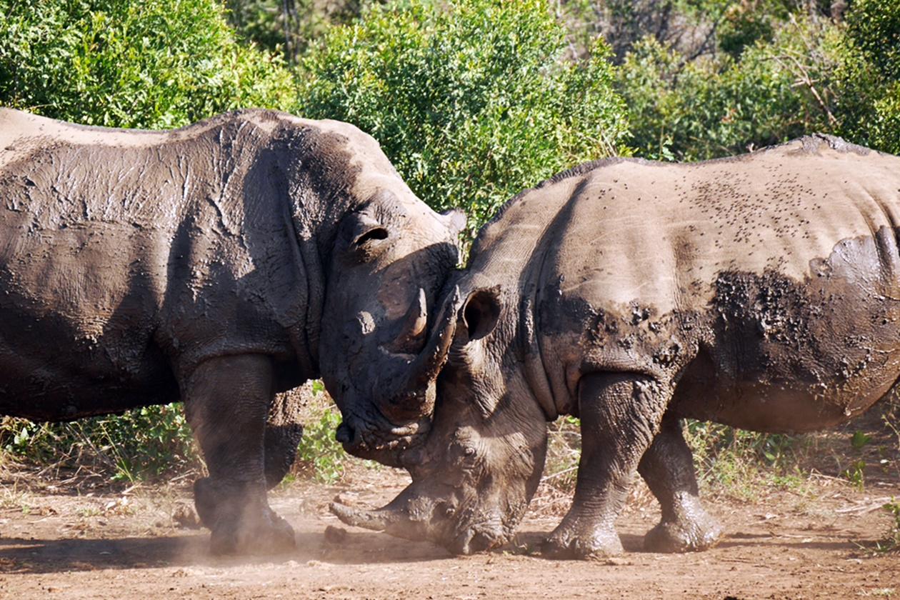Zwei Nashörner beim Kämpfen im Hluhluluwe-Umfolozi Nationalpark