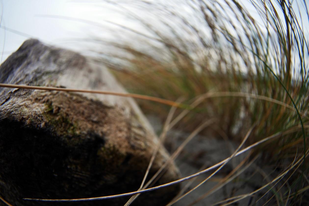Strandgut und Stranhafer am Strand von Hiddensee