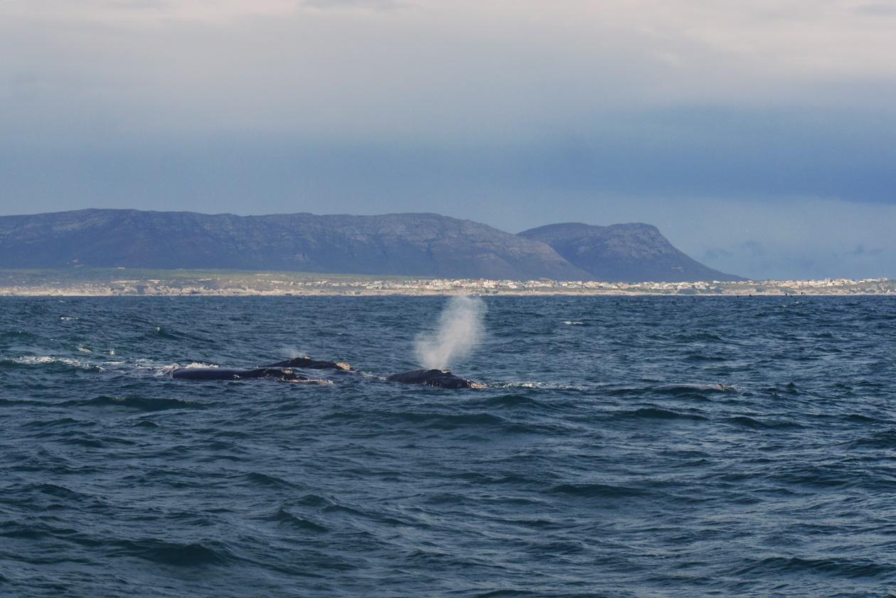 Wale vor der Küste Hermanus