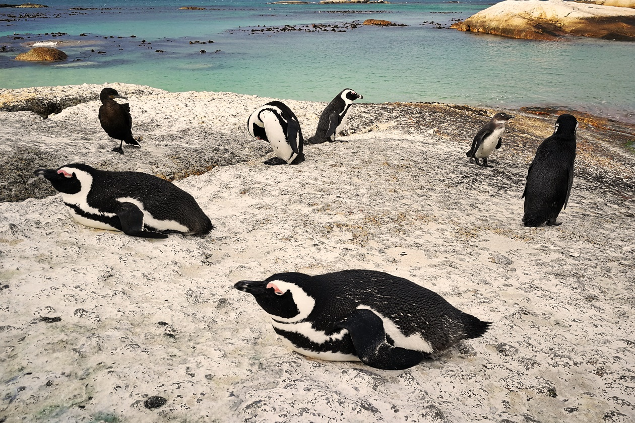 Pinguine am Boulders Beach in Kapstadt