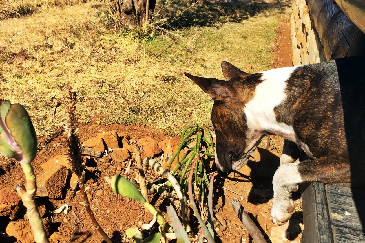 Neugieriger Hund der Greenfire Drakensberge Lodge