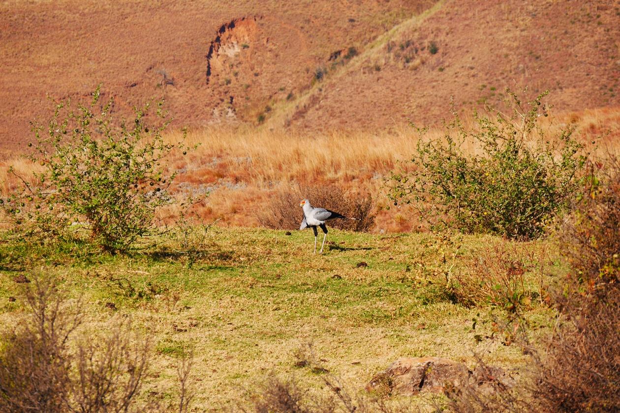 Sekretär Vogel auf der Greenfire Drakensberge Lodge