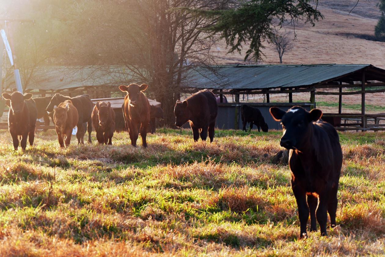 Jungbullen auf der Elgin Guestfarm bei Underberg
