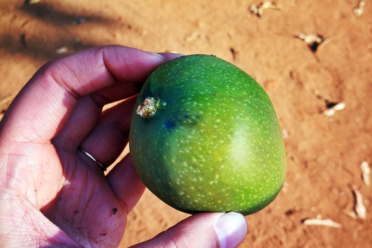 Mango aus Malawi