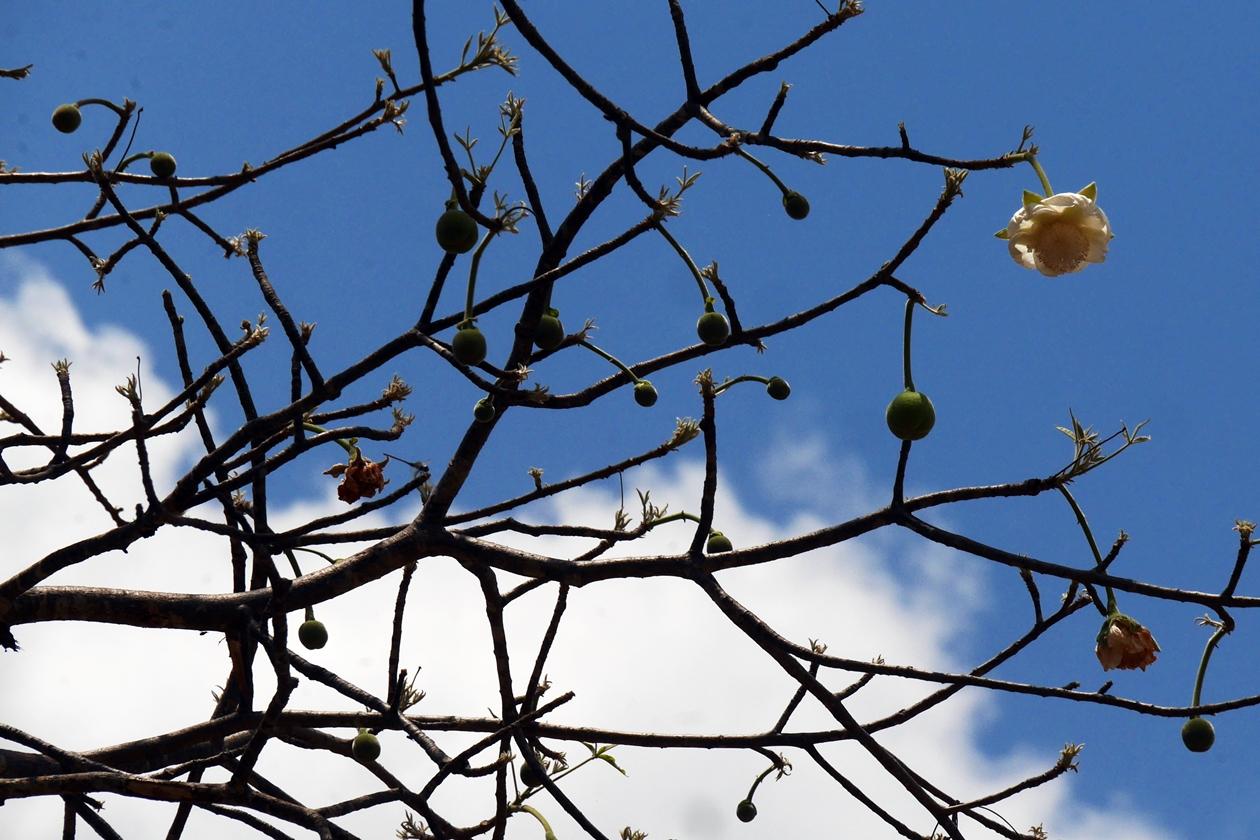 Details an Baobab Bäumen