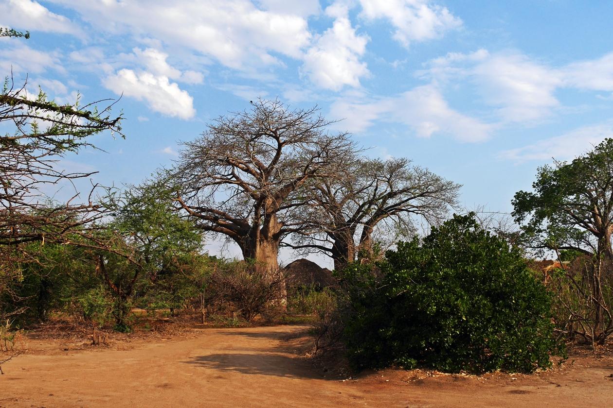 Baobabs im Liwonde Nationalpark