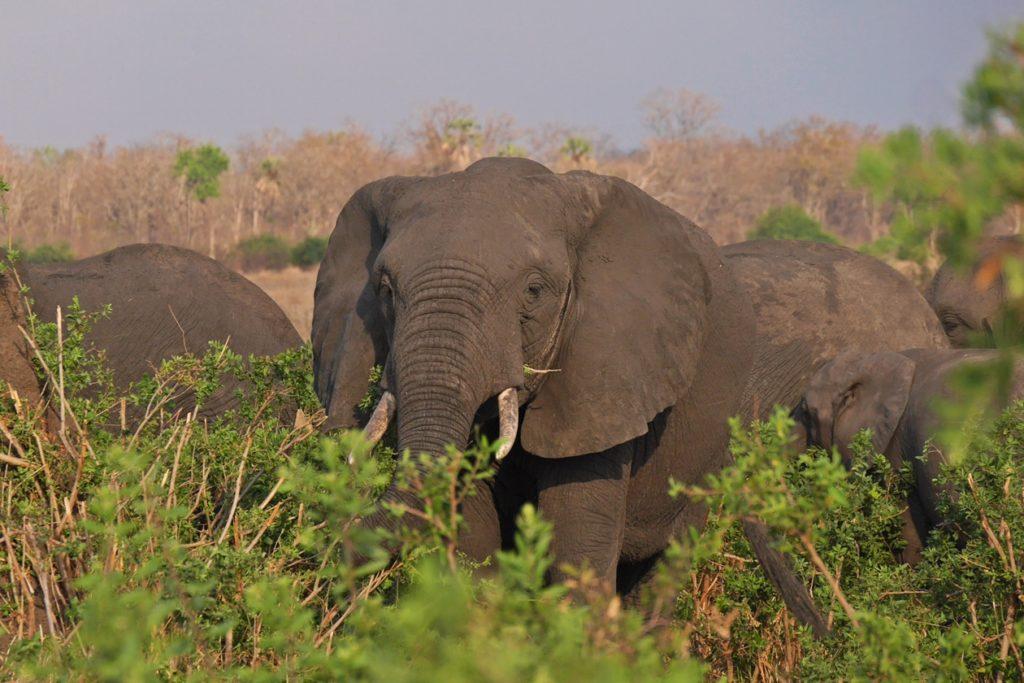Elefantenherde im Sonnenuntergang im Liwonde Nationalpark in Malawi