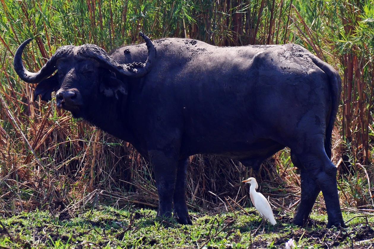 Wasserbüffel vom Kanu aus gesehen auf Safari im Liwonde Nationalpark