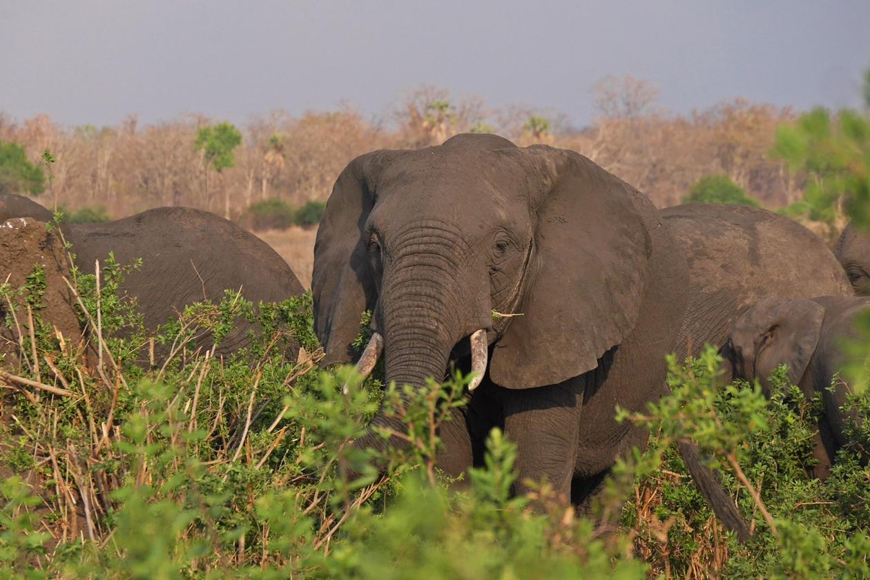 Elefanten im Liwonde Nationalpark in Malawi