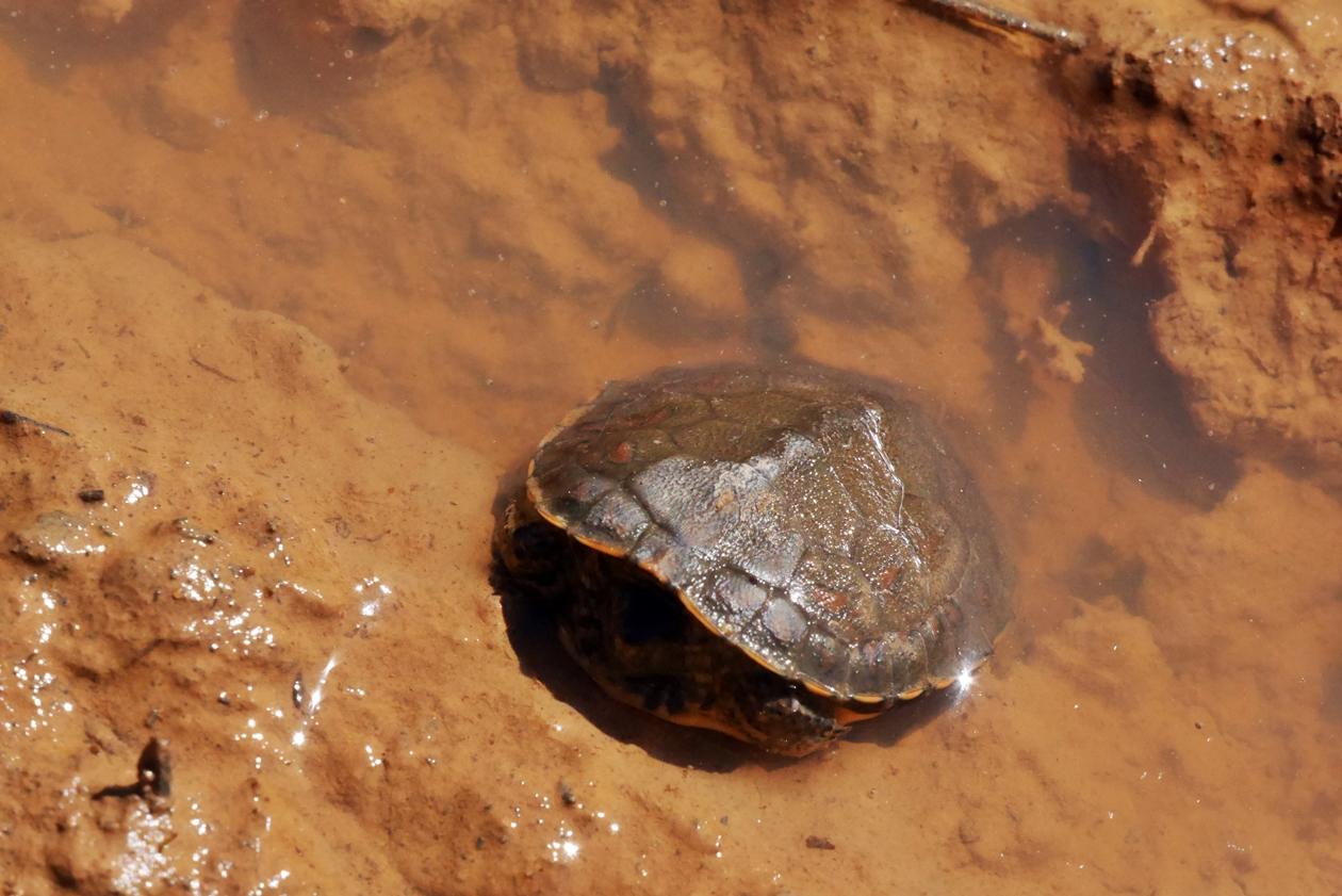 Schildkröte in einer Pfütze entlang des Historical Ways in Portugal