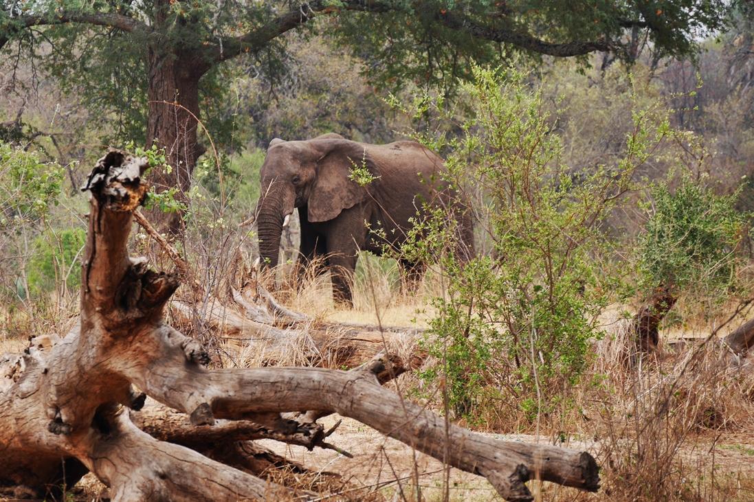 Elefant auf der Fahrt zu den Victoria Fällen