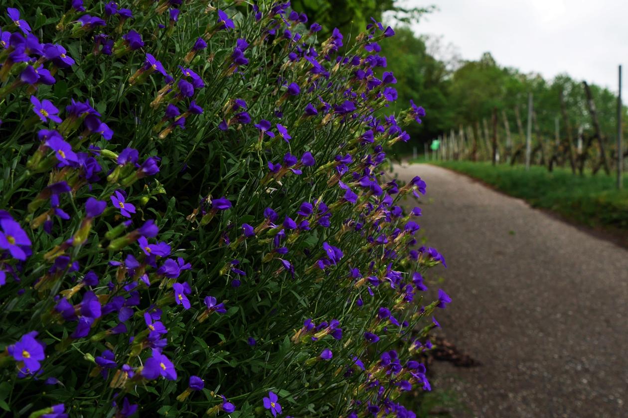 Ein Busch mit blauen Blüten am Wanderweg WT3