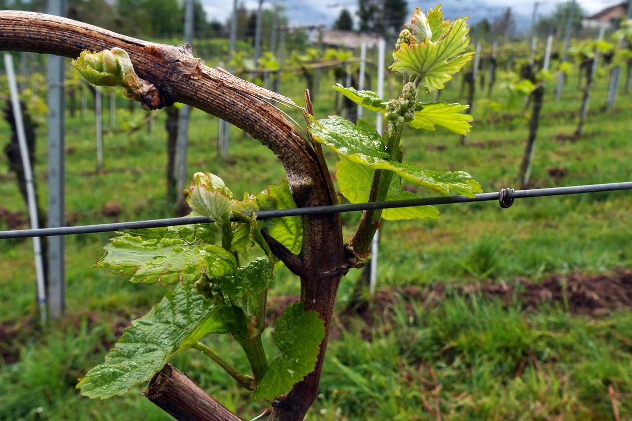 Detailaufnahme einer Weinrebe, die noch nass vom Regen ist