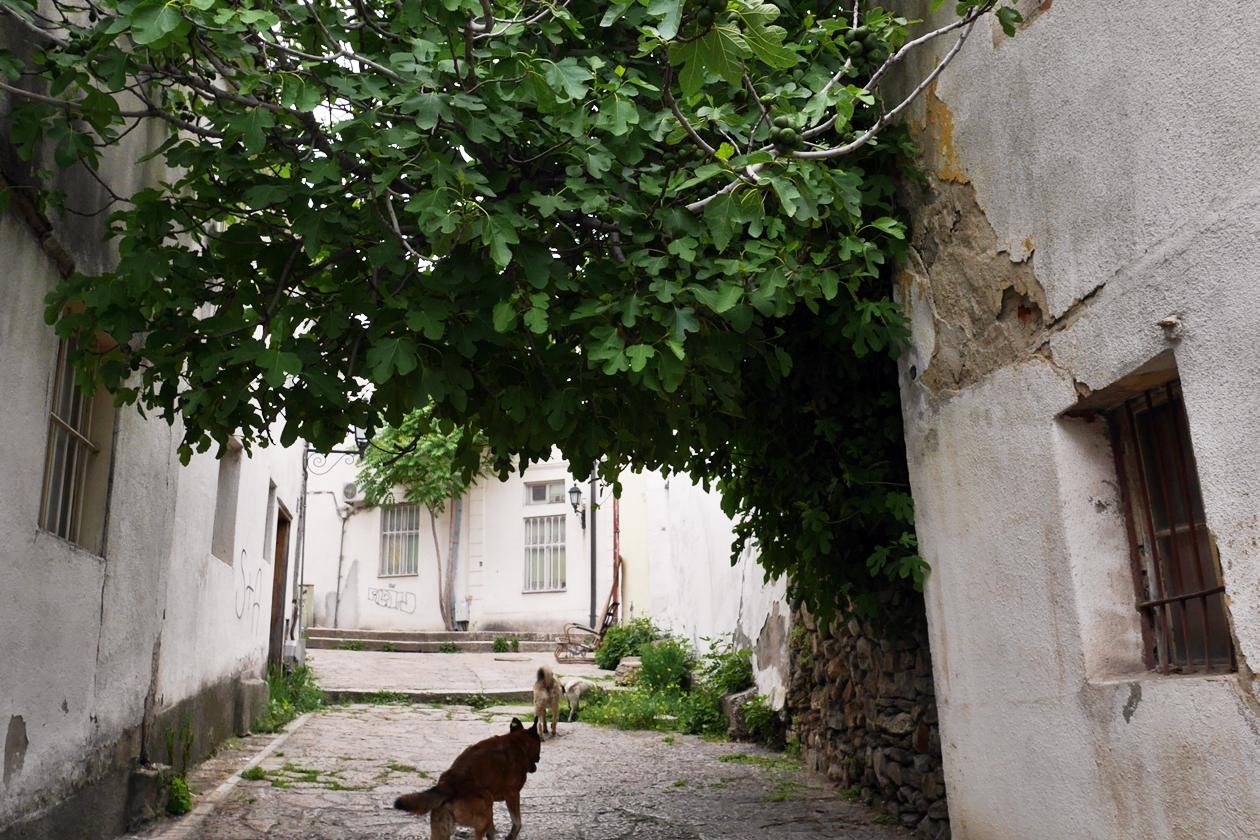 Streunende Hunde unter einem Feigenbaum in Skopjes Altstadt