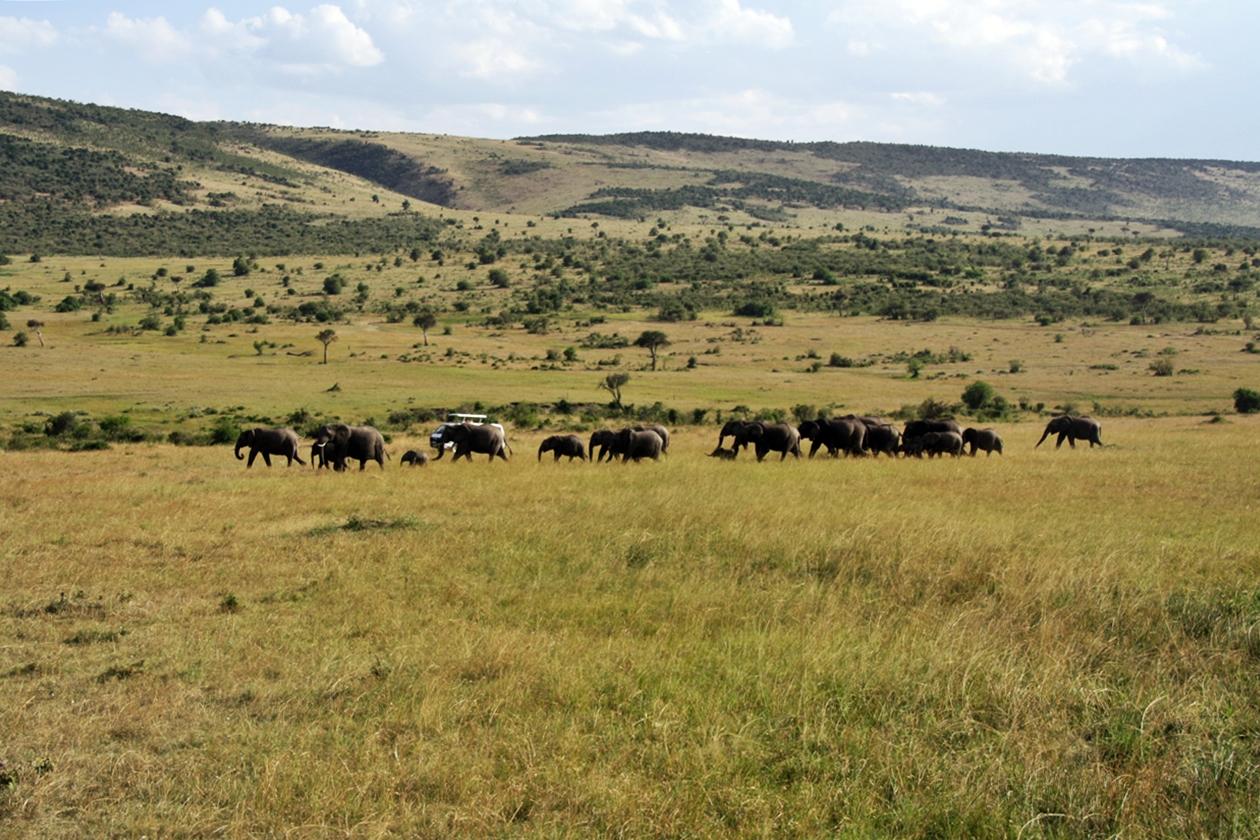 Elefanten ziehen durch die trockene Massai Mara