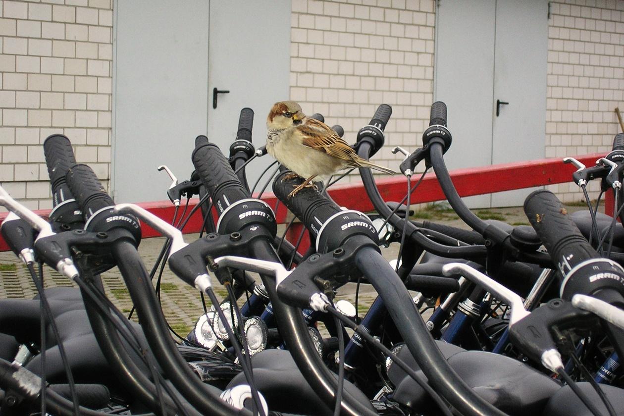 Leihfahrräder auf denen ein Spatz sitzt