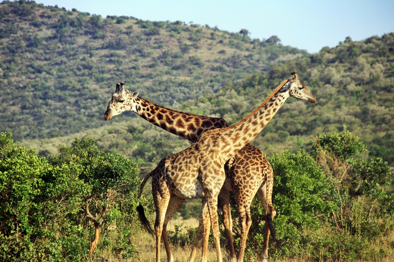 Giraffen im Massai Mara Nationalpark in Kenia