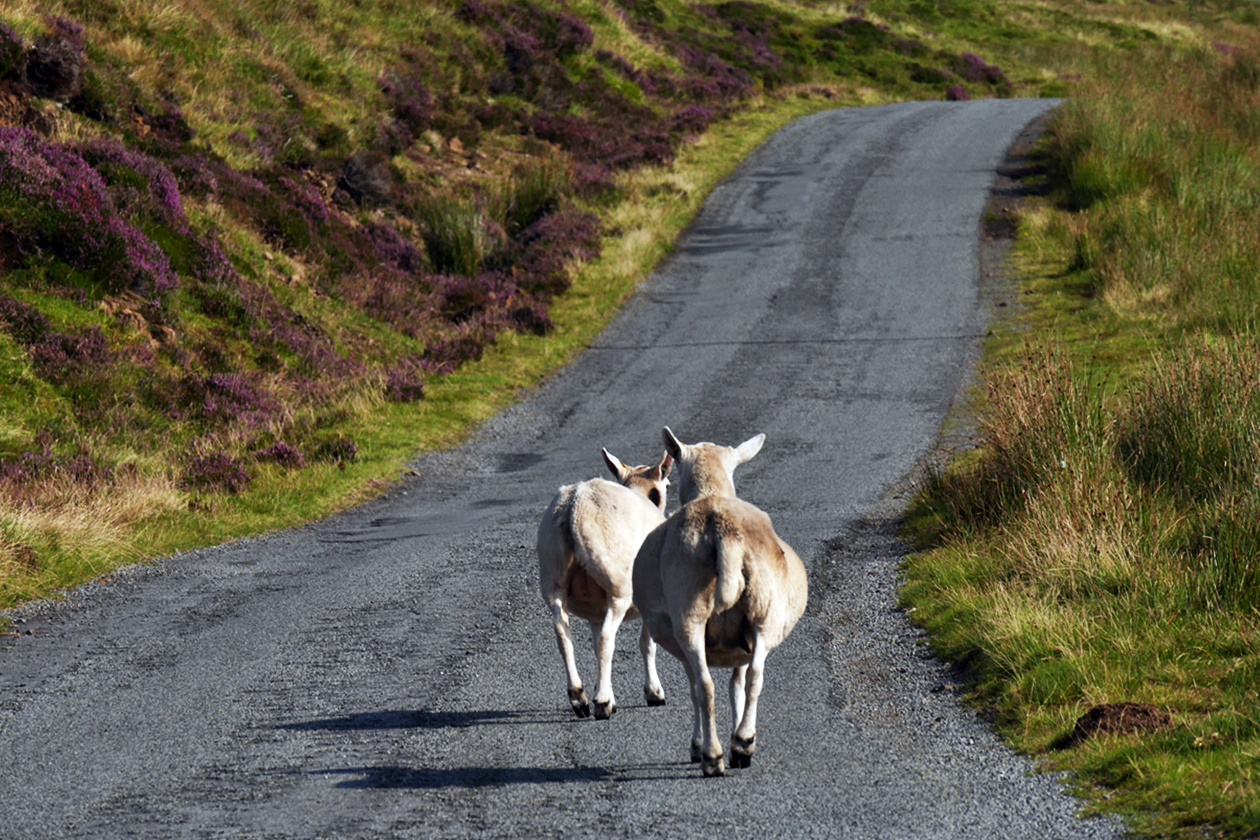 Blackface Sheeps versperren den Weg auf der Isle of Skye