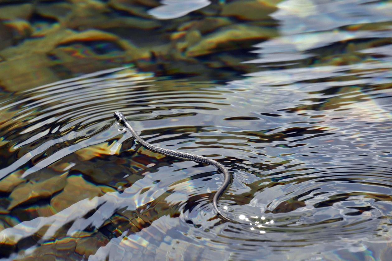 Wasserschlange im Lago del Predil