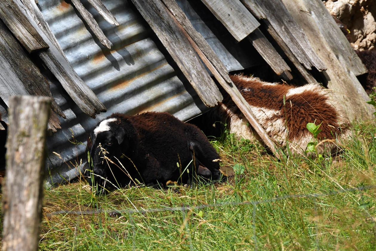 Schafe die sich an die Wand ihres Stalls in den slowenischen Alpen drängen