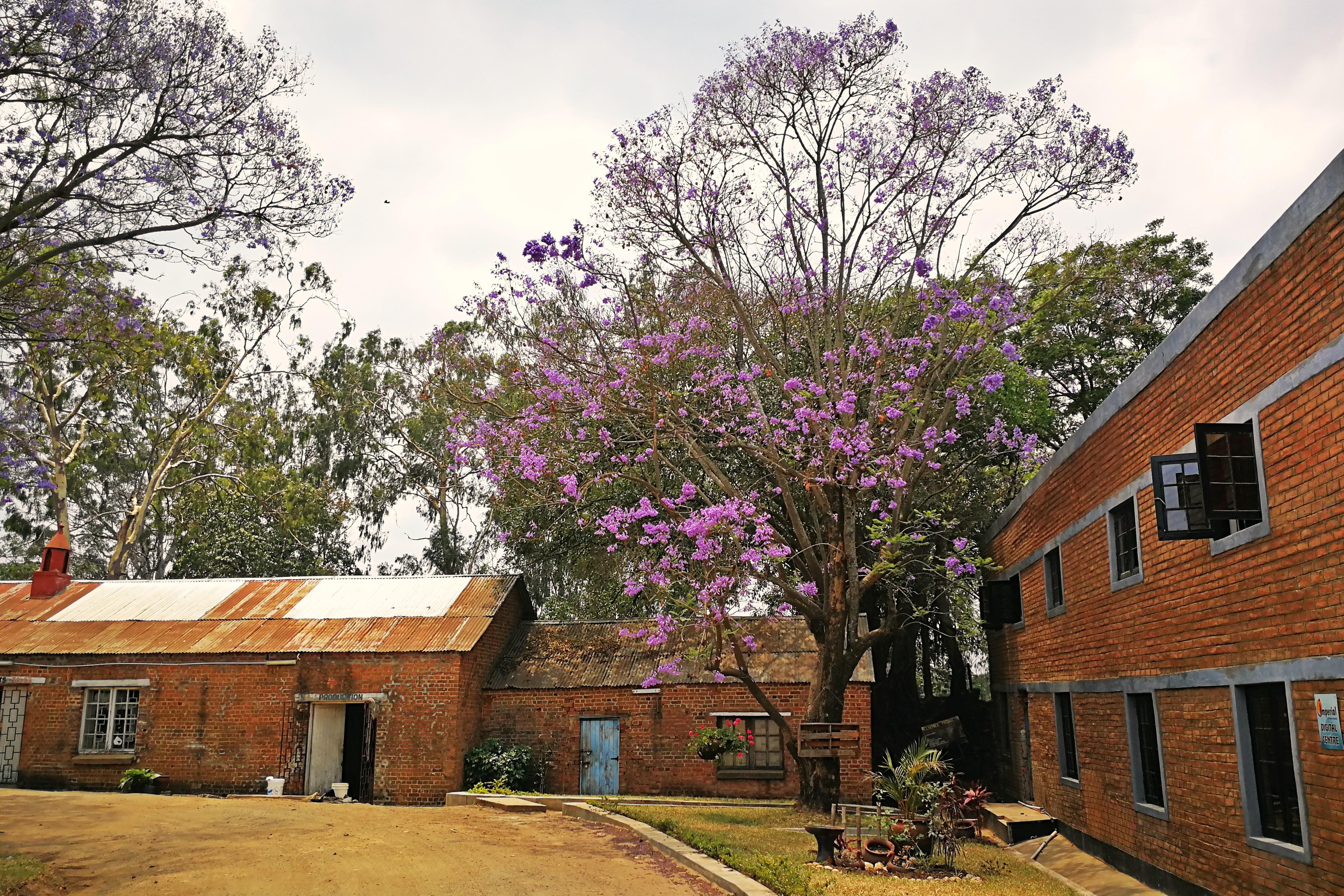 Unter Jacaranda Bäumen kann man in einem ehemaligen Fabrikgelände schöne Souvenirs erstehen