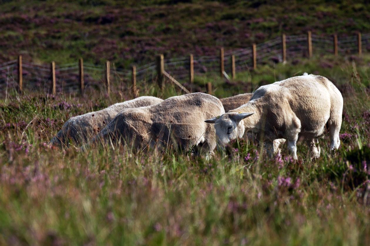 Schafe grasen auf der schottischen Insel Isle of Skye