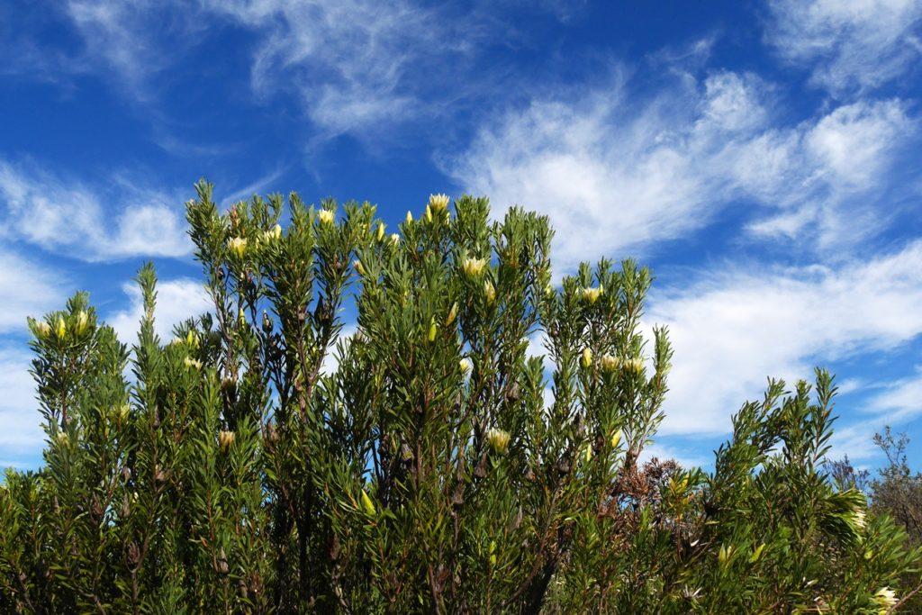 Auch Proteas wachsen im Gelände rund um das Afrikaanse Taalmonument bei Paarl
