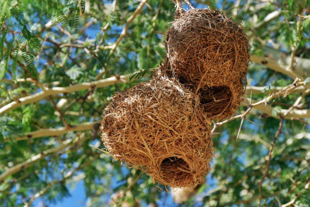 Webervogelnester an Südafrikas Westküste