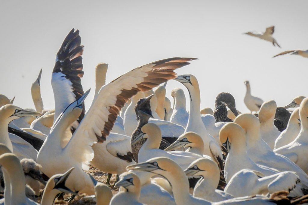 Kaptölpel in der Kolonie bei Lamberts Bay an Südafrikas Westküste