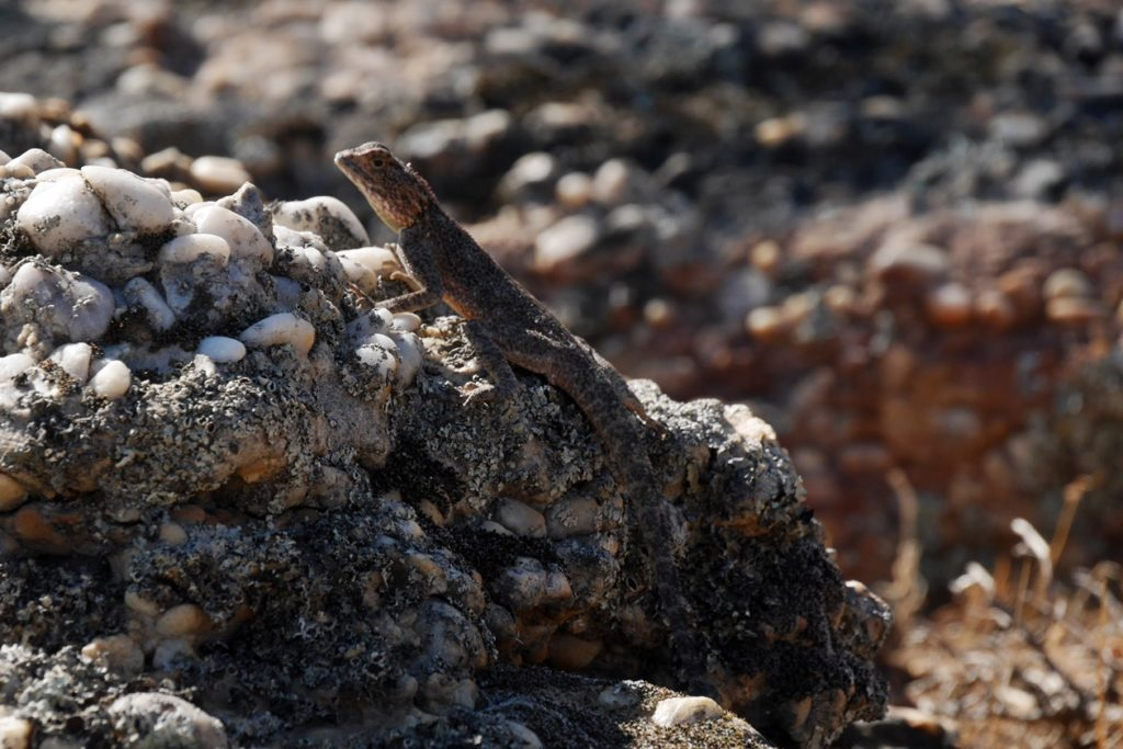 Reptil auf einem Stein in den Cederberg Mountains in Südafrika