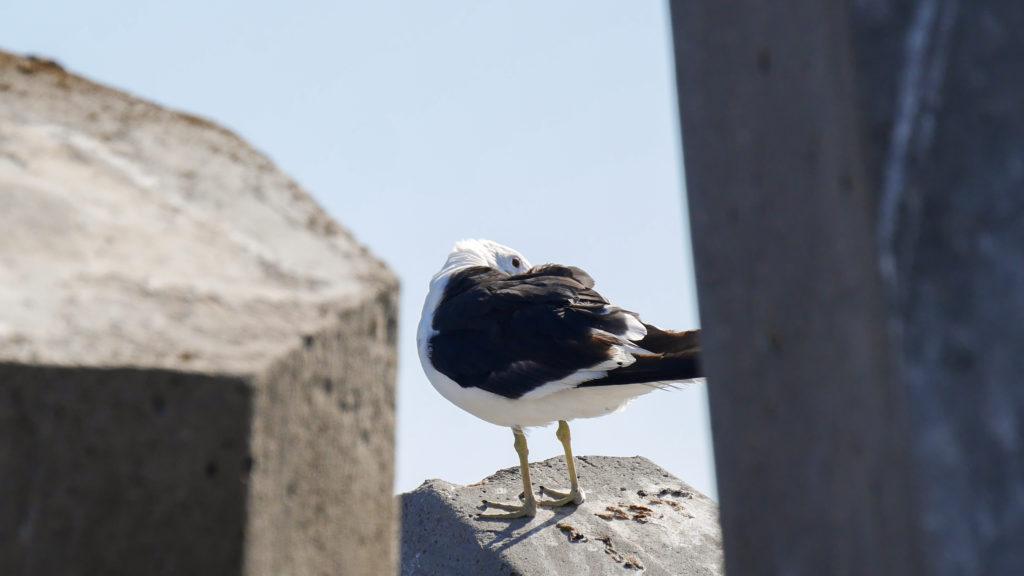 Möwe auf Bird Island in Südafrika