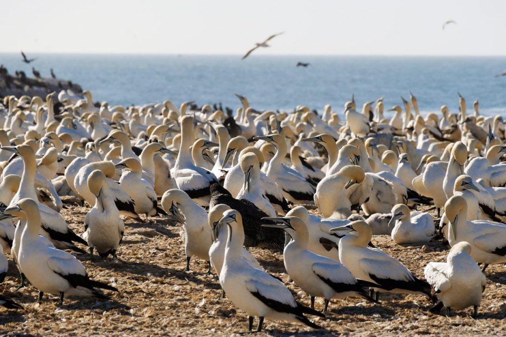 Kaptölpel Kolonie von Bird Island