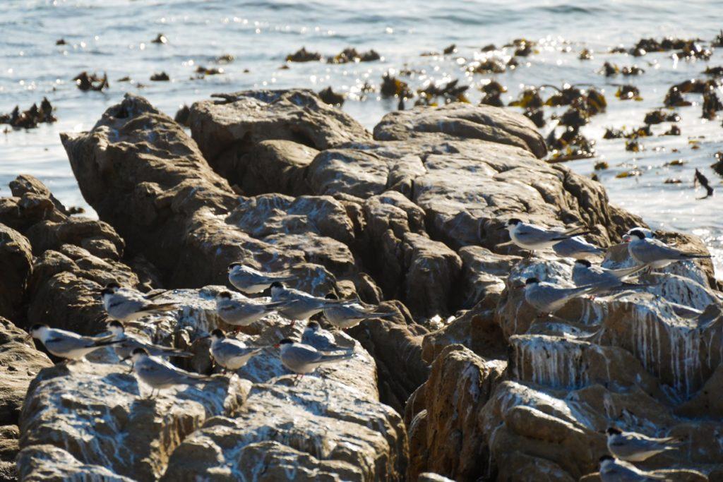 Seemschwalben in Südafrika