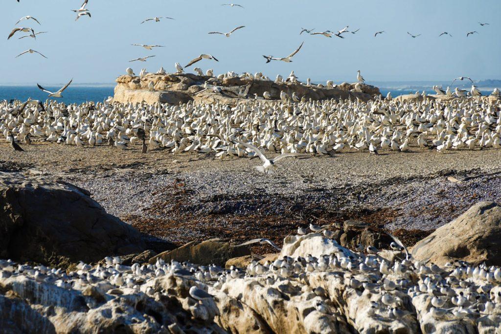 Kaptölpel und Seeschwalben auf Bird Island bei Lamberts Bay