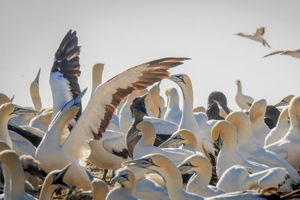 Kaptölpel Kolonie auf Bird Island bei Lamberts Bay in Südafrika