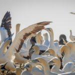 Bird Island – die größte frei zugängliche Kaptölpel Kolonie in Südafrika