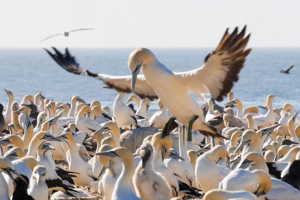 Kaptölpel landet in Kolonie auf Bird Island bei Lamberts Bay